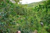 エルサルバドル 収穫中