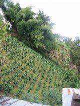 険しい斜面に植えられるコーヒーの木