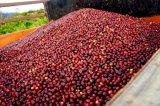 収穫された完熟コーヒーチェリー