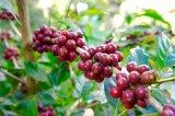 完熟したコーヒー豆