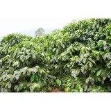コーヒー生豆 ホンデュラス ネルソン3