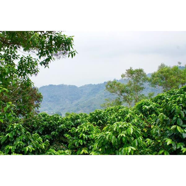 コーヒー生豆 ホンデュラス ネルソン4