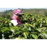 コーヒー生豆 ブラジル モンテアレグレ3