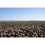 コーヒー生豆 ブラジル モンテアレグレ6