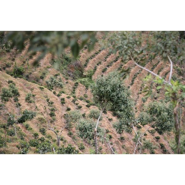 コーヒー生豆 グアテマラ エルソコッロ3