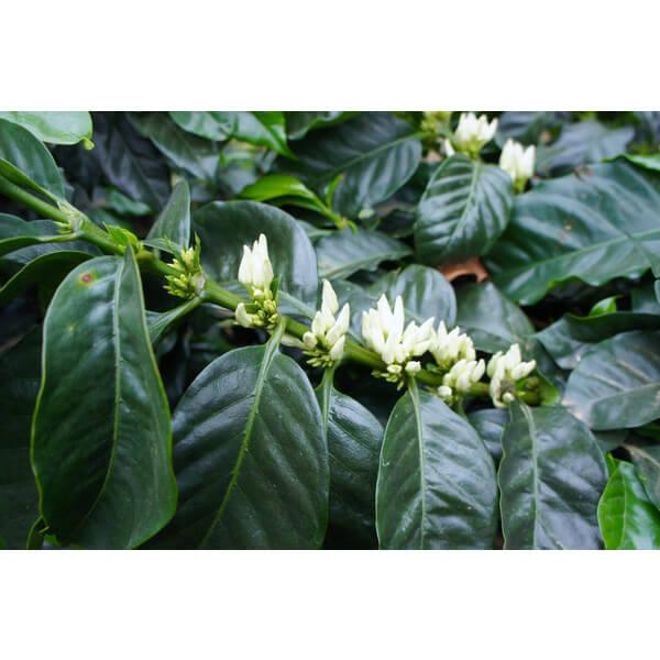 コーヒー生豆 ホンデュラス ネルソン2